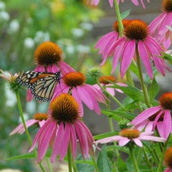 Monarch Butterfly Wildflower Seed Mix