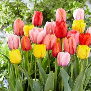 Darwin hybrid Mixed Tulips