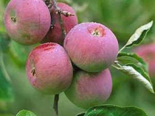 Set of 4 Apple -Honeycrisp, Wolf River, HoneyGold, Yellow Newtown