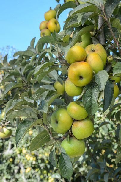 Yellow Newtown Apple