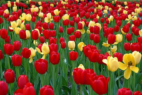 Happy Day Mixed Tulips