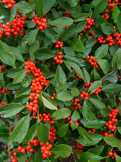 Holly - Winterberry