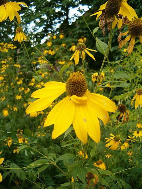 Cut Leaf Coneflower