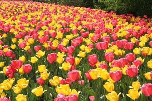 Pink Lemonade Duo Tulips
