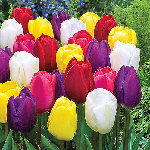 Mixed Triumph Tulips