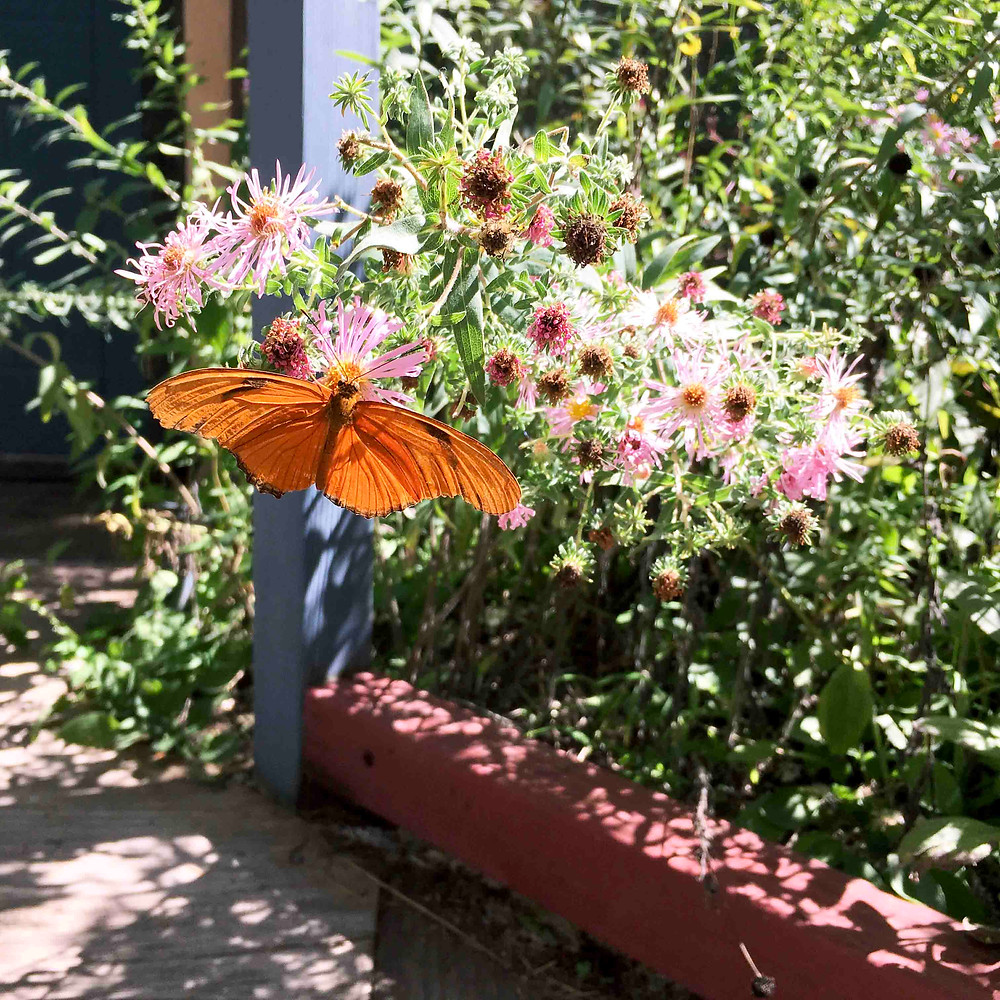 Albuquerque, Butterfly pavilion, milkweed, New Mexico native plants