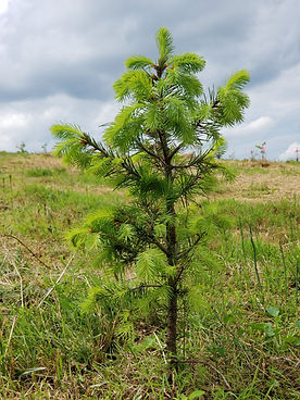 20190504_145703 Maple Tree Christmas.jpg