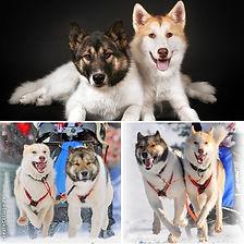 гренландская собака, гренландская лайка