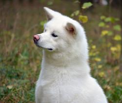 C' Hakuryu Белый дракон (Хоку)