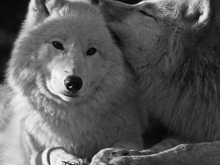 О Волках: такие грозные, такие гордые, и такие нежные...