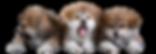 Рыжие щенки акита в питомнике MITSUHOSHI