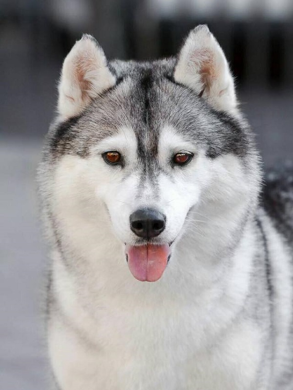 HAPPY HUSKY BEST WISHES