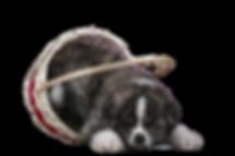 Тигровые щенки акита в питомнике MITSUHOSHI