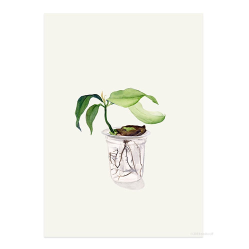 Mangopflanze