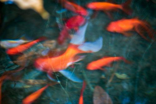 Poissons rouges fantomatiques