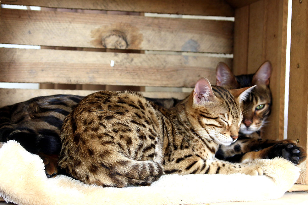 Beautiful bengal cats happily resting an