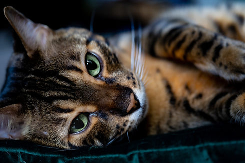 A domestic bengal cat in its natural hab