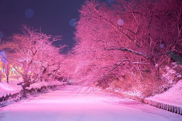 青森県 冬に楽しむさくらライトアップ
