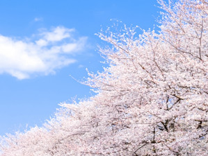 桜のベストタイミングをスマホがお知らせ
