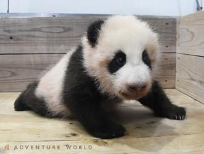 毎日配信赤ちゃんパンダ名前募集本日締切