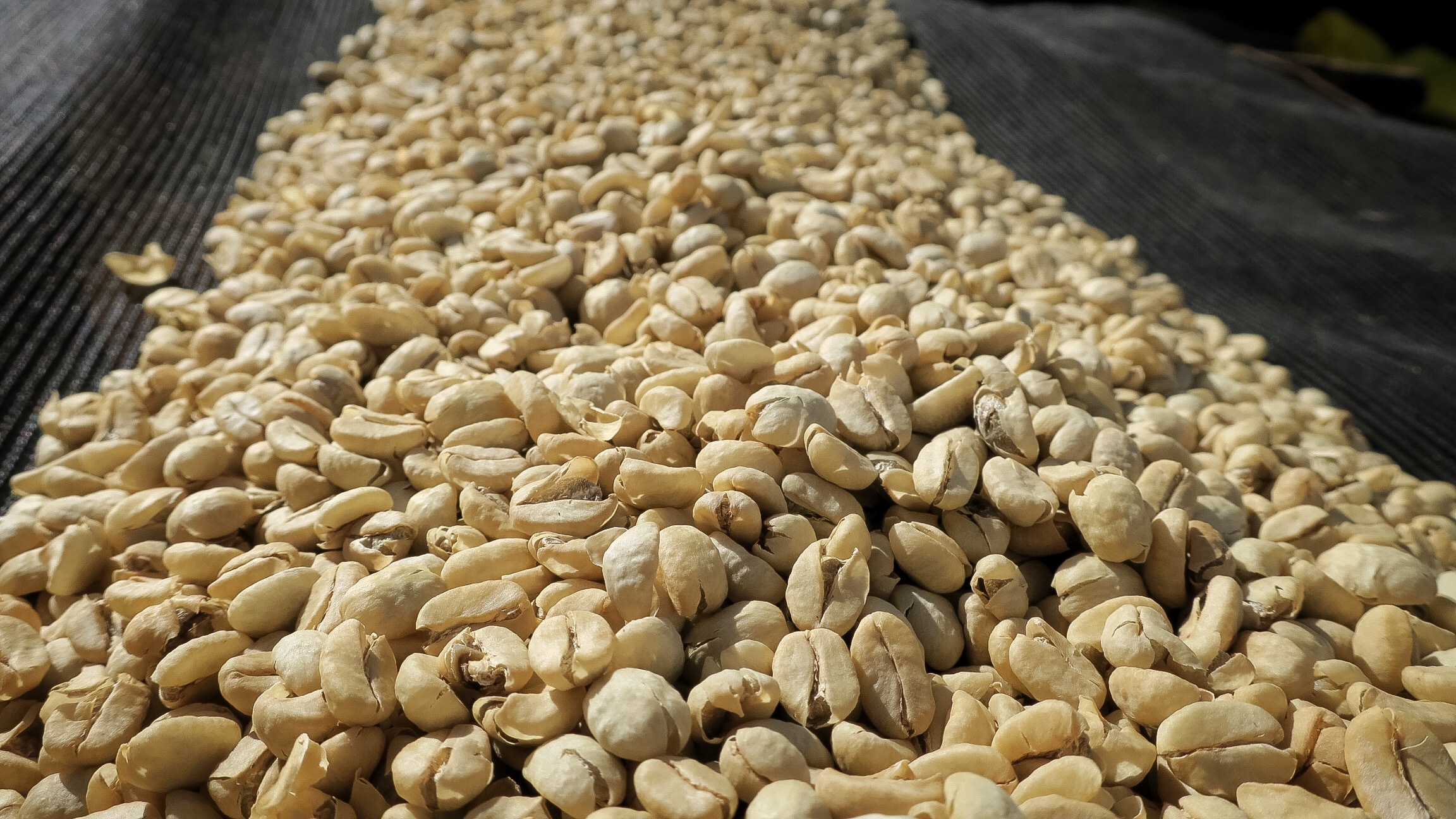 Parchment coffee drying in Kenya