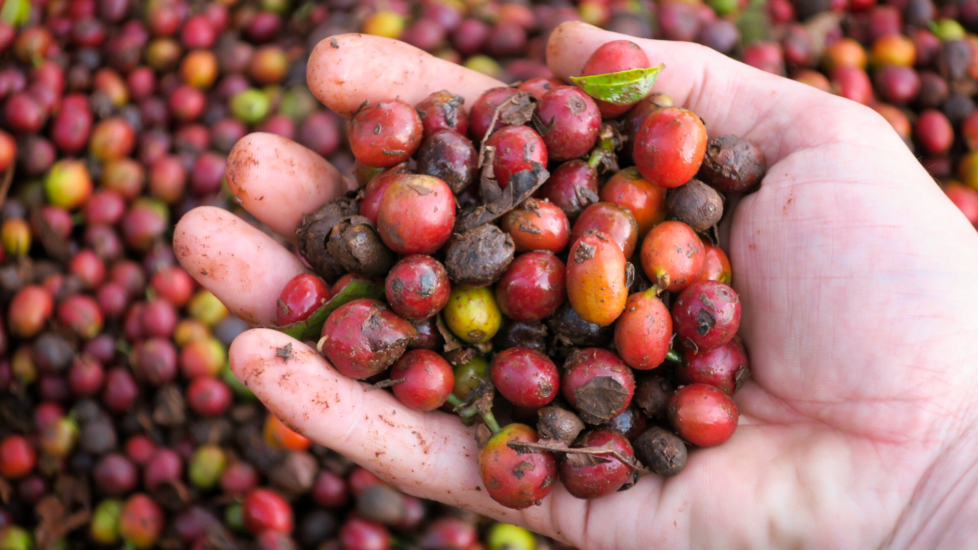 Specialty coffee hand picked