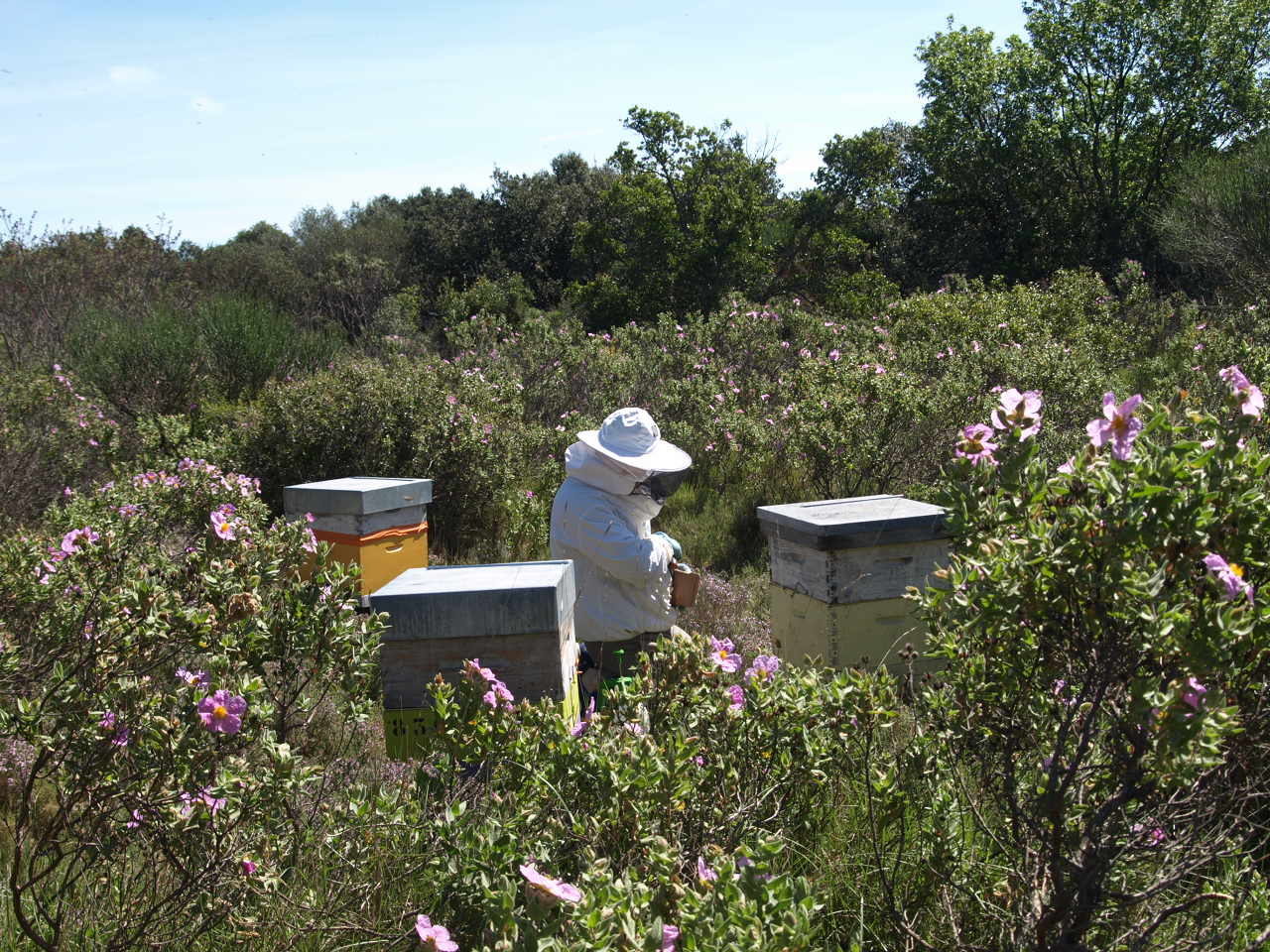 L'apiculteur au travail