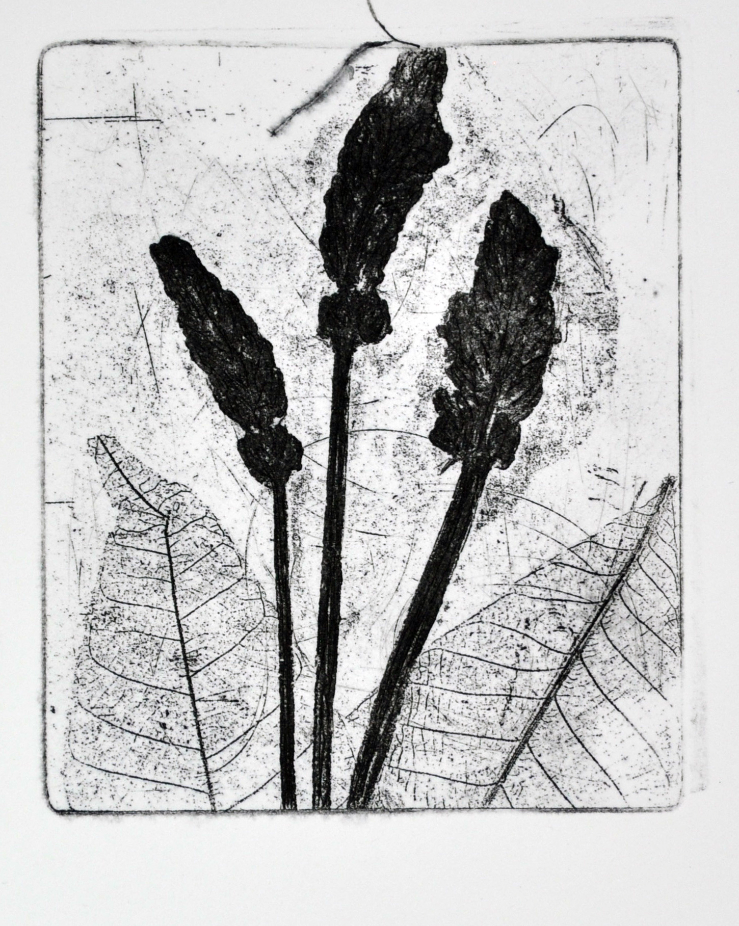 Lavender Etching