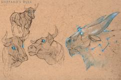 Bullsketches.jpg