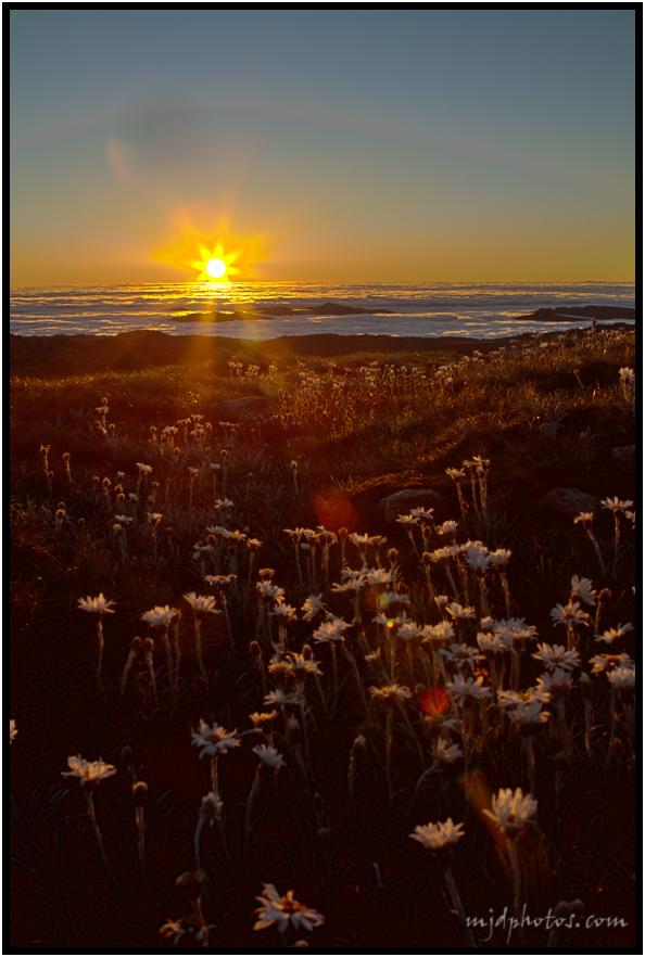 Kosci daisies