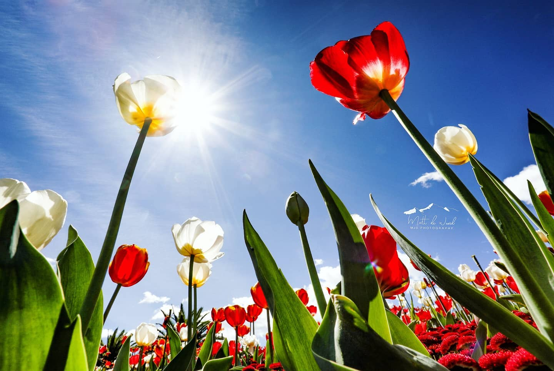 Tulip Dayz
