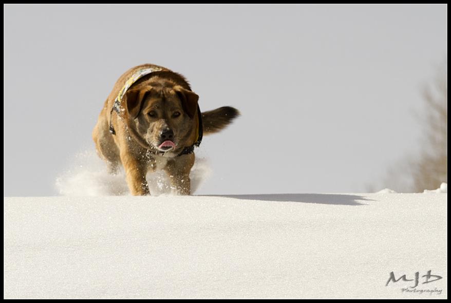 Avy Dog