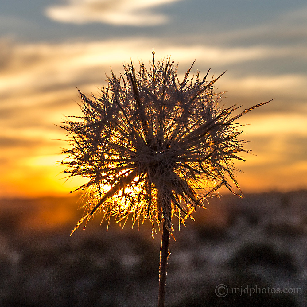 frosty dandelion.jpg