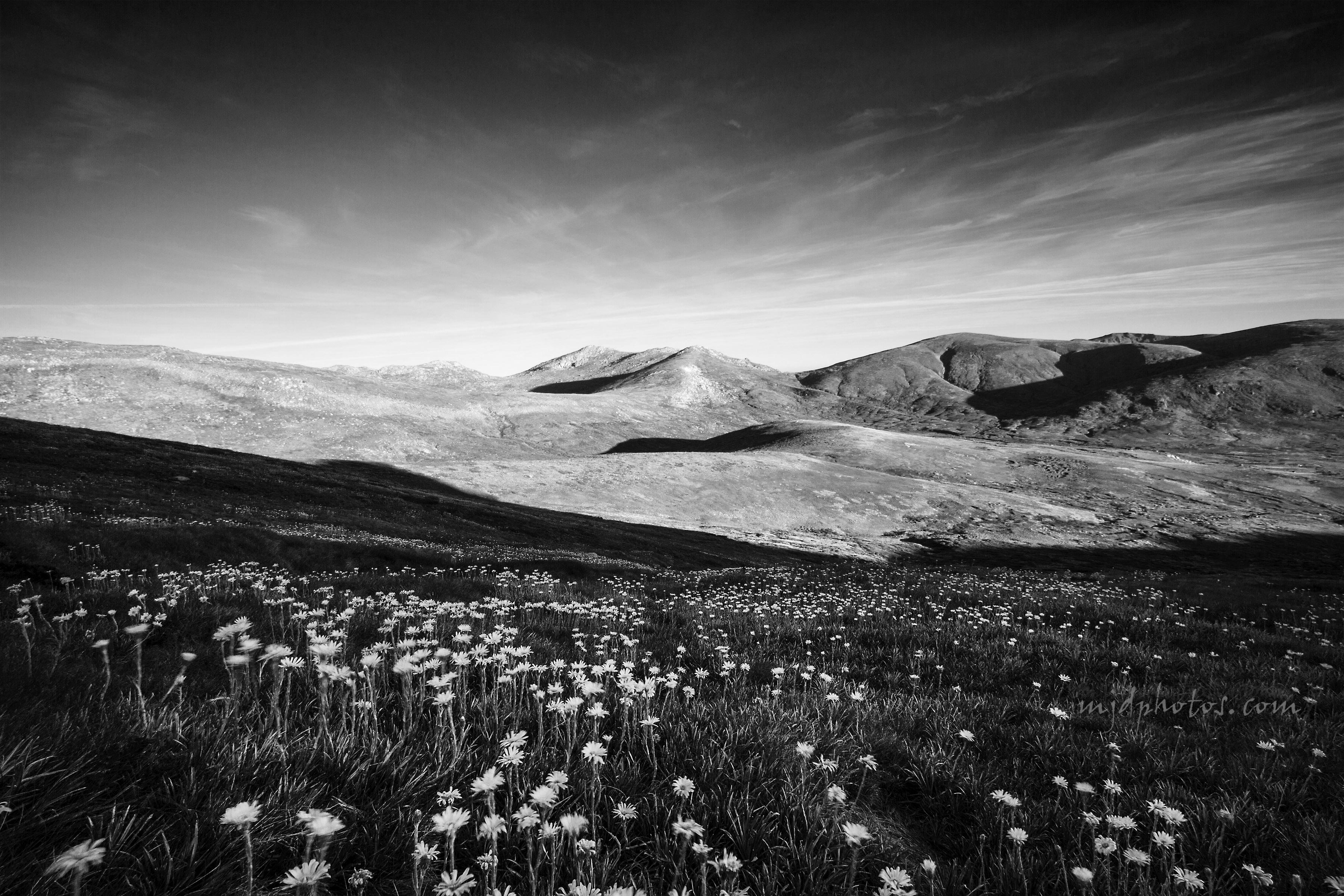alpine daisys BW