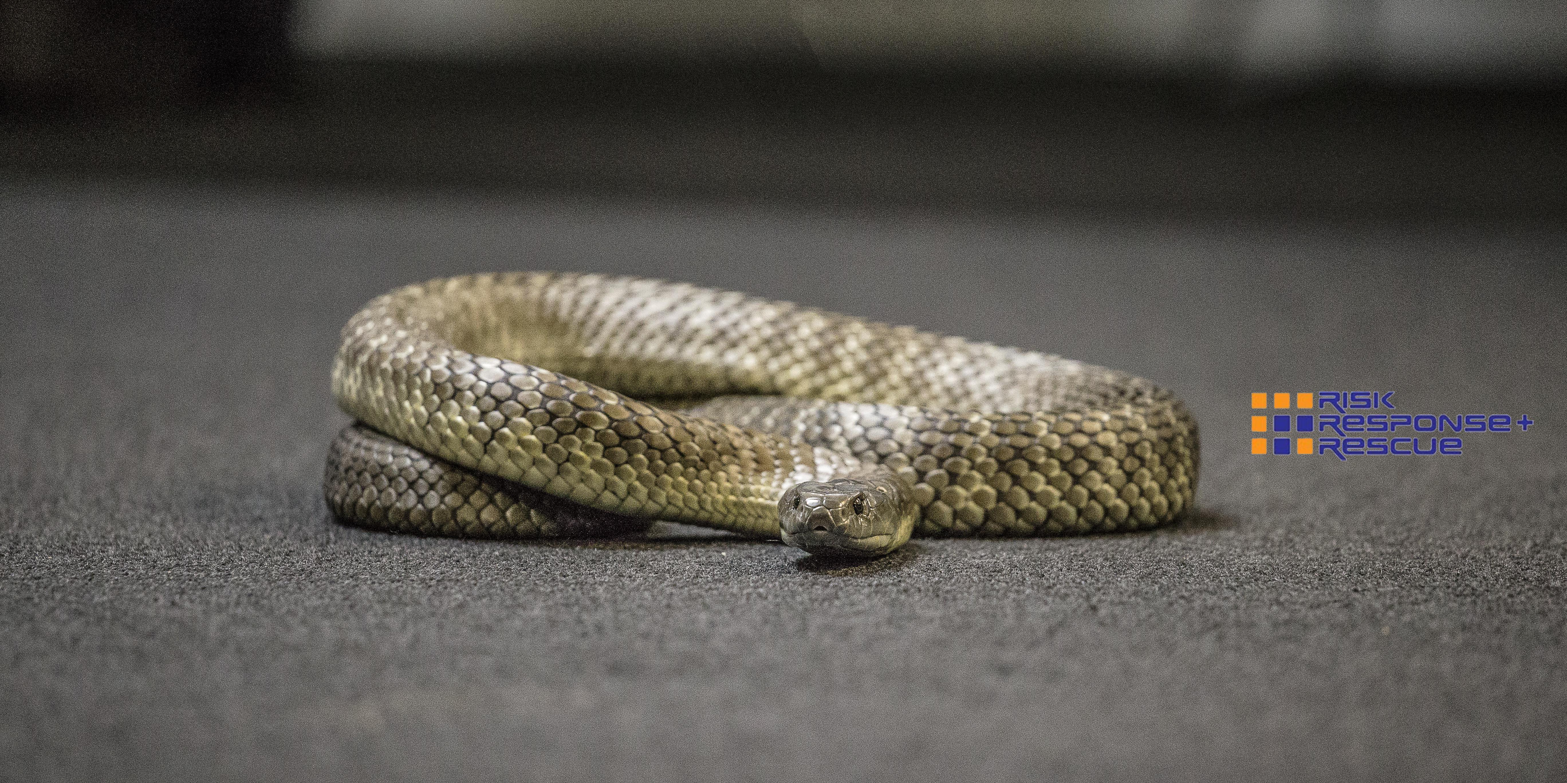 tiger snake floor rrr
