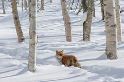 Hokkaido Fox