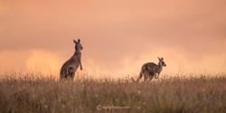 kangaroopano