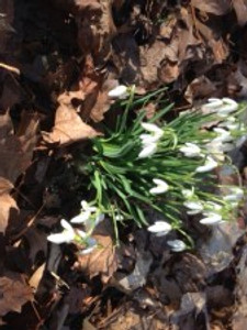 Snowdrops and Spring