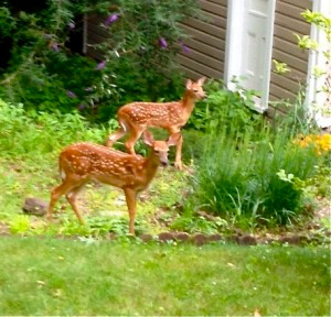 Orphan Fawns