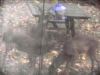 Deer before Sandy