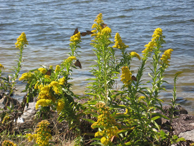 Barnegat Bay: Goldenrod, Monarchs, and a Cloudless Sulphur