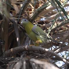 Pesky Pigeon