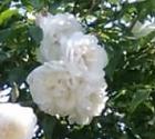 Fleurs Anne-Marie Breton