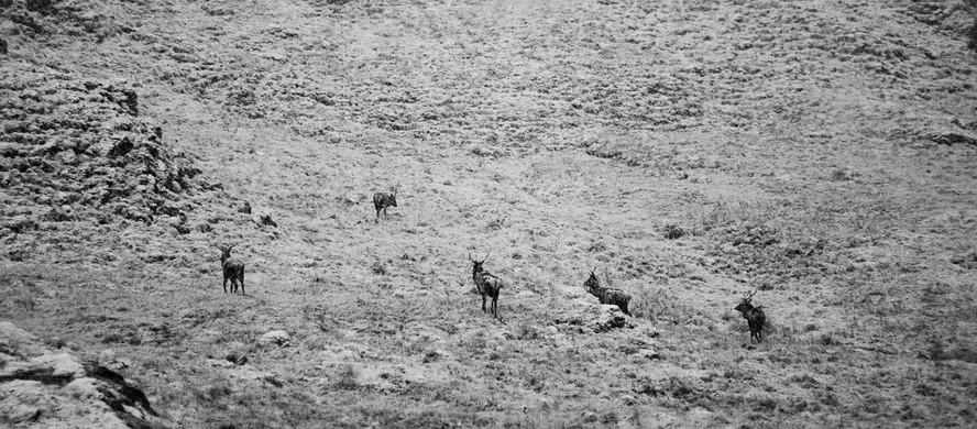 Stags on Snowy Hillside