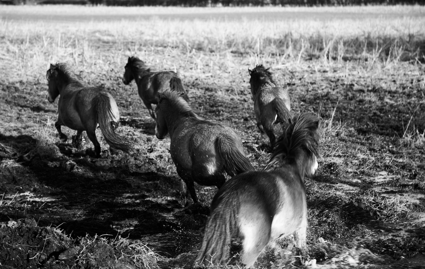 Exmoor Ponies on the Move
