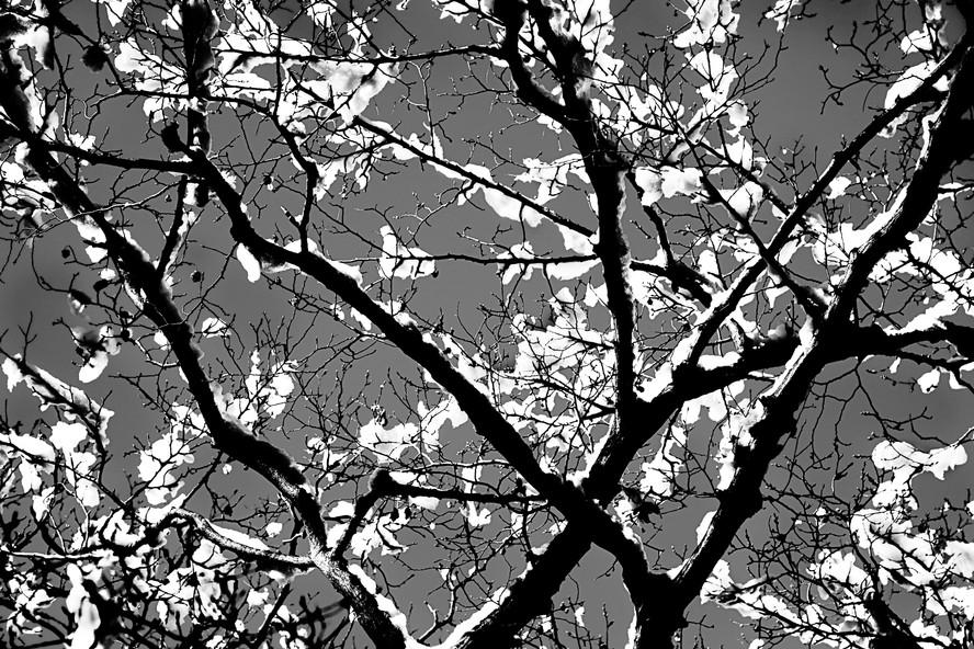 Japanese Snow Blossom I