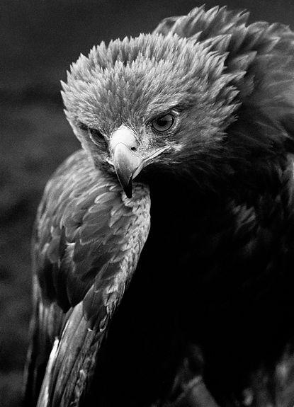 Golden Eagle Wing.jpg