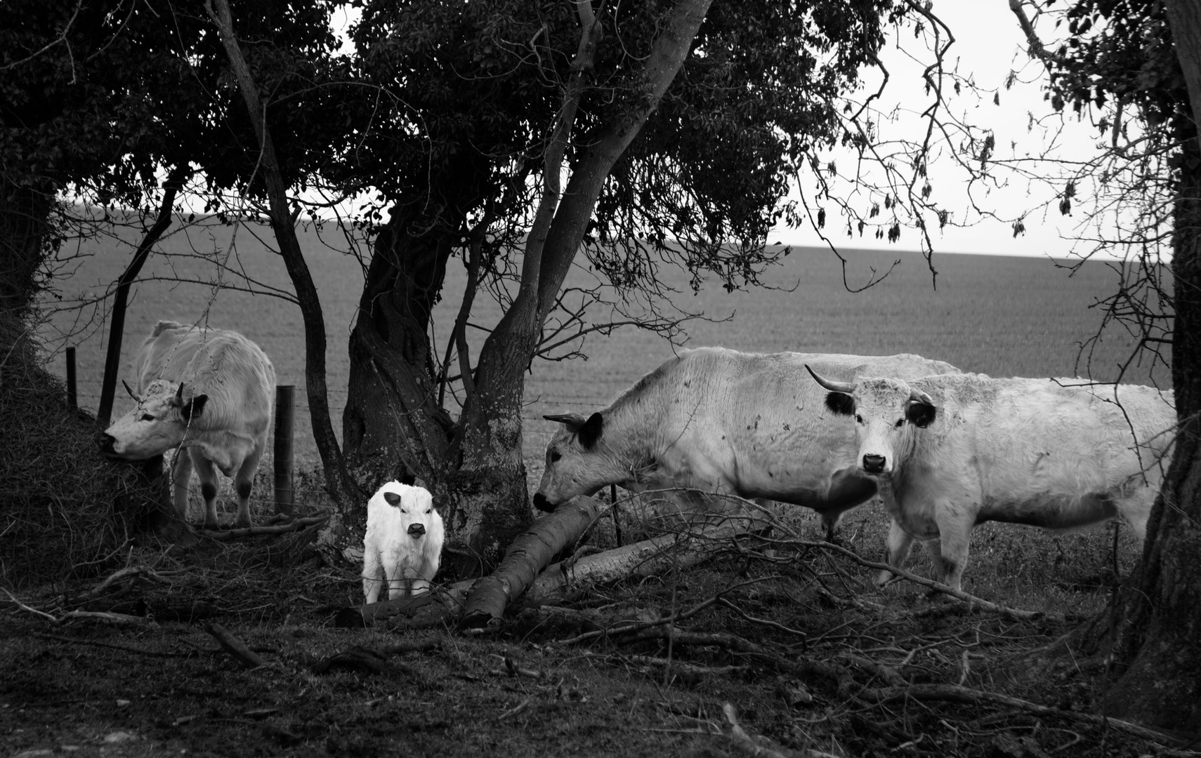 Three Cows and a Calf