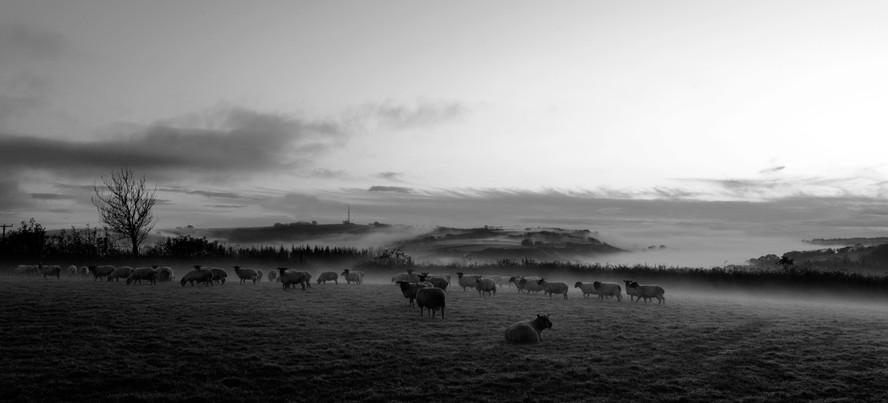 Sheep Evening Fog