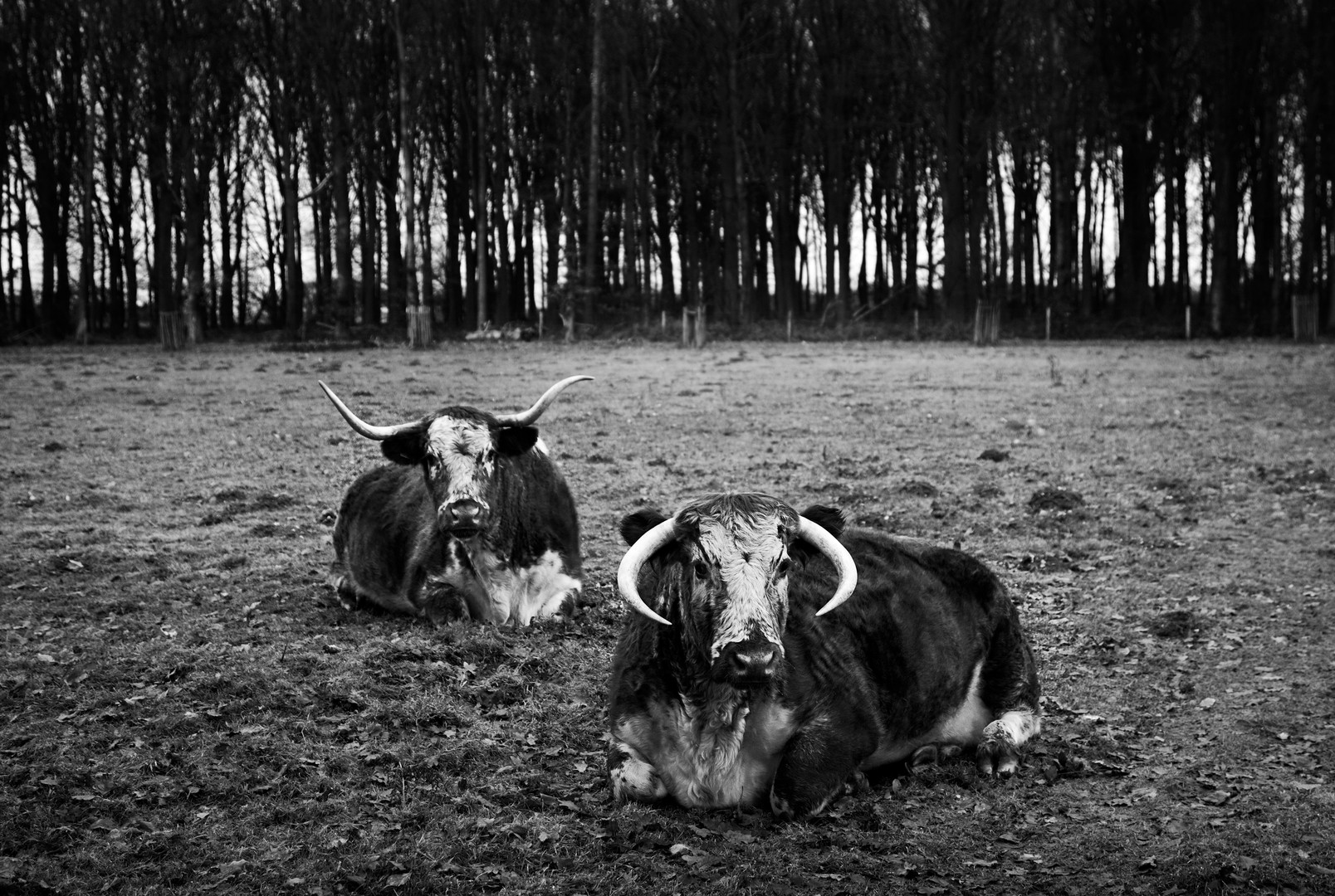 Longhorns at Houghton
